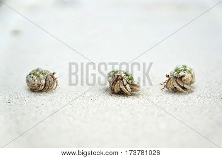 Three small crabs talking on the beach