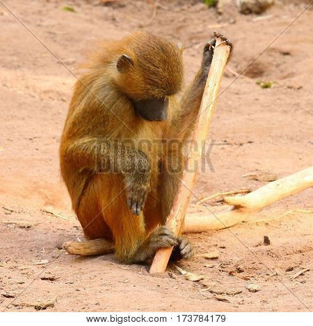 The Gelada Baboon (Theropithecus gelada). Monkey working with primitive tool. Behavior in wildlife.