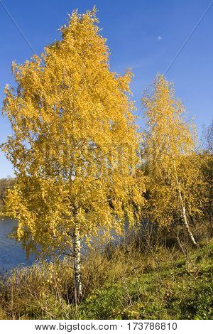 Autumn landscape with golden birches near lake recorded on Swan lake in Izmaylovsky park in Moscow.