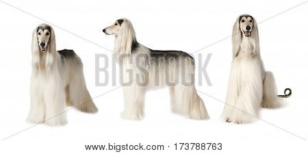 Photo collage of white Afghan hound dog studio shot on white background