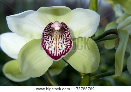 green boat orchid (Cymbidium) in tropical garden
