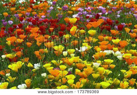 California Poppy (eschscholzia)