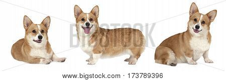 Photo collage of Welsh corgi Pembroke dog studio shot on white background