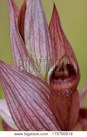 Eastern Tongue Orchid (serapias Cordigera)