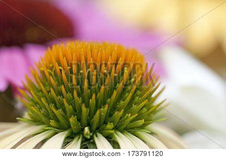 Coneflowers (echinacea)