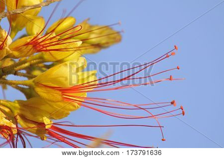 Beautiful Yellow Flower With Long Red Stamens