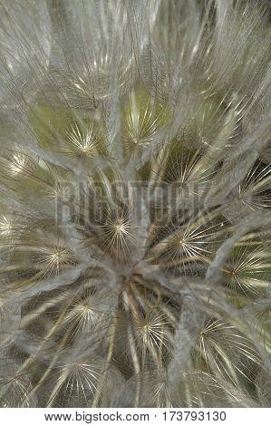 Tragopogon Pratensis Seed