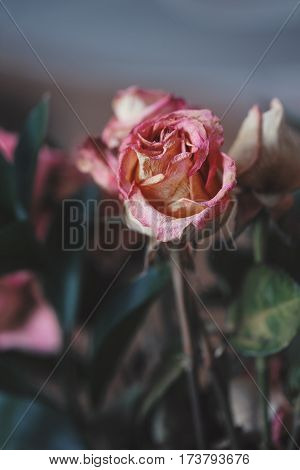 Closeup macro of beautiful tender withered old pink yellow red roses flowers on faded blurry background toned with filters in retro vintage style with film effect soft selective focus.