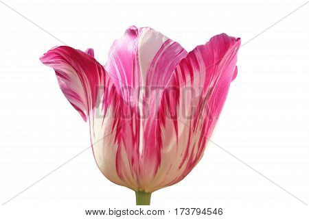 One Tulip Blossom Pink And White Mottled, Isolated On White