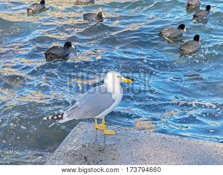 the big sea gull and a duck