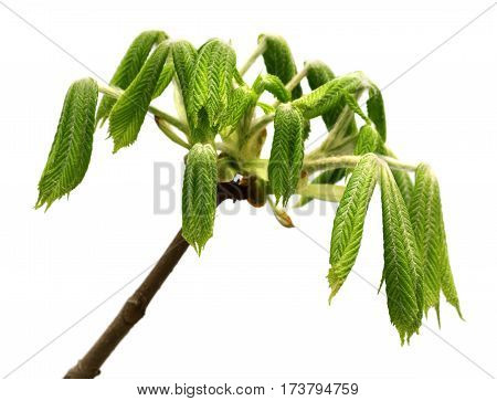 Spring Twigs Of Horse Chestnut Tree (aesculus Hippocastanum) With Young Green Leaves