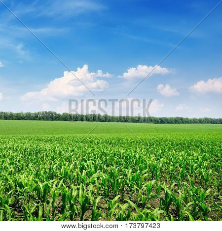 Bright corn field and blue sky
