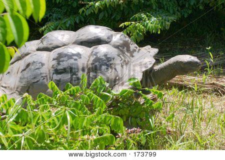 Elderly Giant Tortoise
