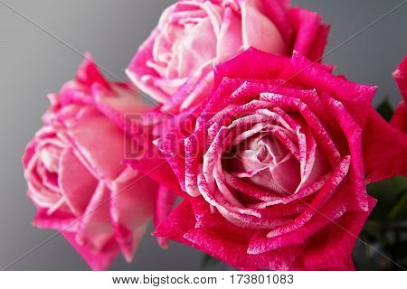Pink roses on a grey background, close up