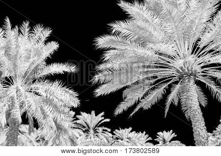 Infra red photo of date palms and a black sky in black and white