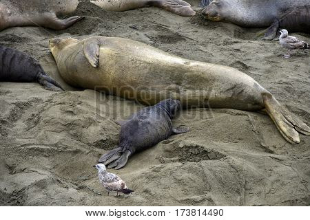 Female Elephant Seal Nursing  Baby