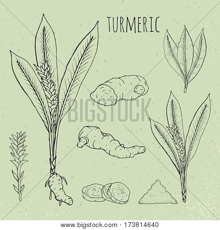 Turmeric medical botanical isolated illustration. Vintage sketch. Plant, root cutaway, leaves, spices hand drawn set.