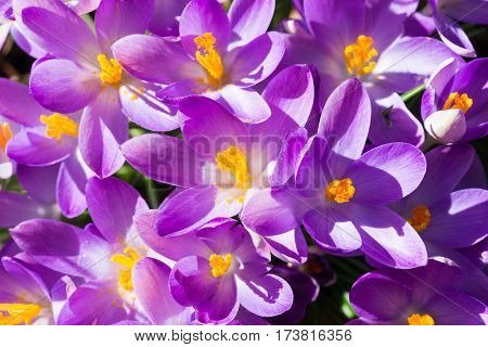 Violet Crocuses in spring. Blooming Crocuses. Spring Flowers. Purple Crocuses in Sunlight. Bunch of Crocuses, Meadow full of Crocuses. Close-up of Crocus.