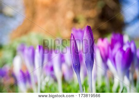 Violet Crocuses in spring. Blooming Crocuses. Spring Flowers. Purple Crocuses. Spring awakening. Bunch of Crocuses, Meadow full of Crocuses. Close-up of Crocus.