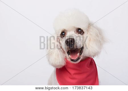Headshot Of White Cute Groomed Poodle