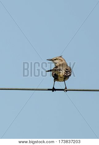 A mockingbird on a telephone wire with its tail and head both pointing left and the wind blowing its head feathers