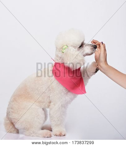 Poodle Giving Five To Woman