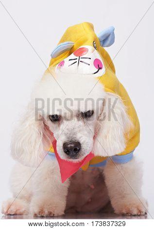 White Sad Poodle Dressed In Costume