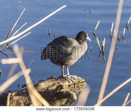 Eurasian Coots (Fulica atra) in a pond