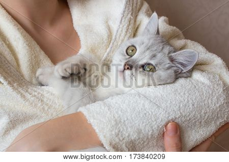 White British Shorthair Cat In The Hands Of A Woman In A Bathrobe