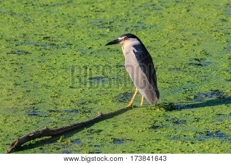black crowned night heron (nycticorax nycticorax) on a lake