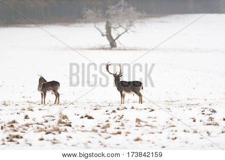 Two Fallow Deer In Meadow Covered With Snow.