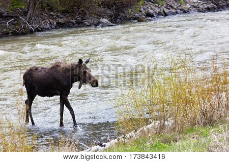 Young moose steps from river that runs outside East Gate of Yellowstone National Park in Wyoming USA.