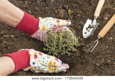 A person planting thyme in the garden