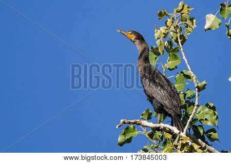 Double-Crested Cormorant Perched High in a Tree