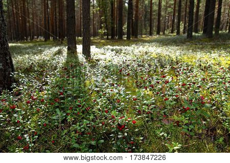 A beautiful pine forest. Green forest glade. Beautiful red berries cranberries. Summer evening. Blurred background
