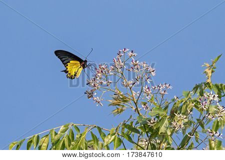 Female Golden Birdwing butterfly in bright yellow and black feeding on flower in Thailand, Asia (Troides aeacus)