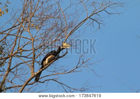 Male Oriental pied hornbill bird in black white sitting on tree all alone in wild nature, Thailand, Asia (Anthracoceros albirostris)