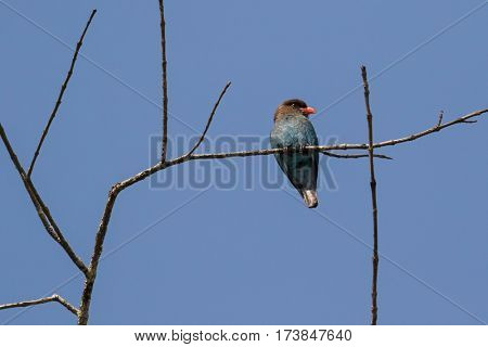 Oriental dollarbird roller bird with brown head blue body and red bill perching on branch, summer in Thailand, Asia (Eurystomus orientalis)