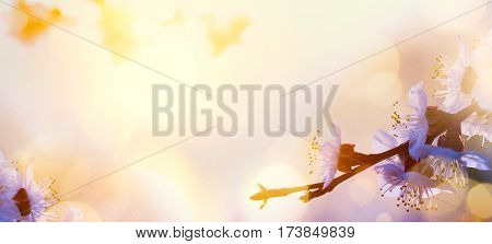 abstract Spring flower background; Spring Tree blosssom