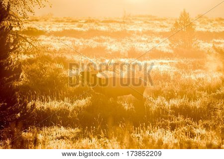 a bull elk bugling at sunrise during the fall rut in Wyoming