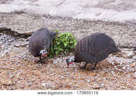 Two Turkey , bird , animal and pet
