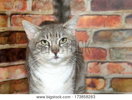 Portrait of one gray domestic tabby short hair cat with light green eyes looking at viewer. Standing in front of a textured brown and red brick wall looking perplexed. Eyes red.