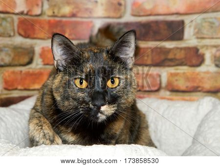 Portrait of one female tortie tabby cat laying in sheepskin bed in front of red and brown brick wall looking slightly to viewers right.