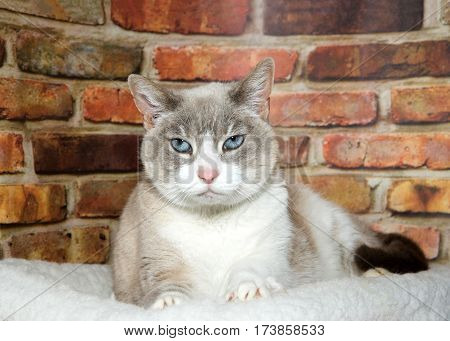 Portrait of one regal white and tan siamese mix senior cat laying on a sheepskin bed next to a red and brown brick wall looking directly at viewer.