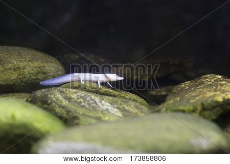 Blind Texas Salamander