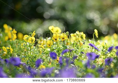 Beauitful Pancy flowers field in the morning sunrise while summer