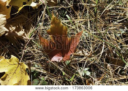 Wide view of single deep red autumn leaf on dry straw grass with dry leaves on the frame edges on a beautiful bright sunny day in October near the town of Mystic in the Eastern Townships of Quebec.