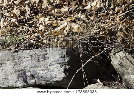 Small tan colored chipmunk poses among large grey stacked rocks and dry leaves on a beautiful bright sunny day in October near the town of Sutton in the Eastern Townships of Quebec.