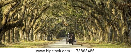 Horse drawn carriage driving down row of oaks on Southern plantation