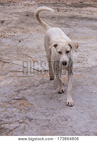 thai white stray dog , animal and pet